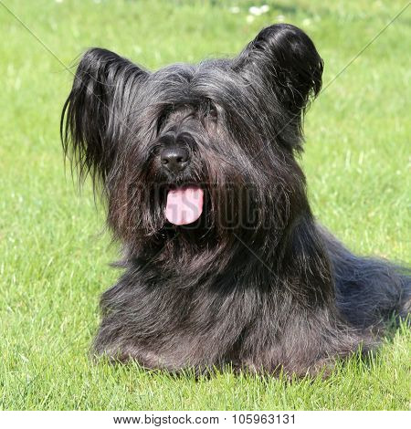 Black Skye Terrier On A Green Grass Lawn