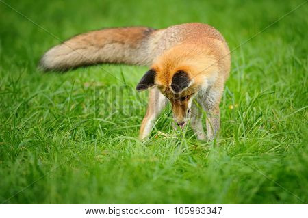 Red Fox Standing Looking Down To Green Grass