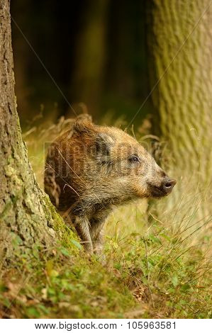 Wild Boar Baby In Yellow Grass Sniffing Between Tree Trunks