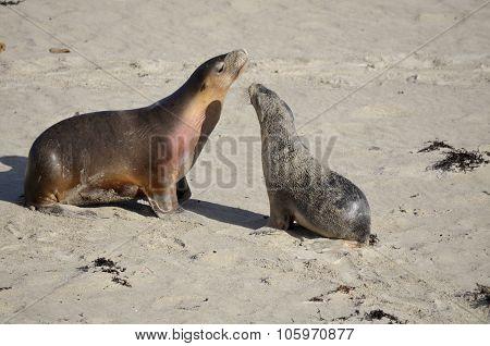 Sea Lion & Cub