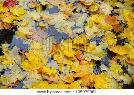 yellow maple leaves in a puddle