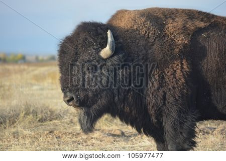 American Bison Buffalo On The Prairie