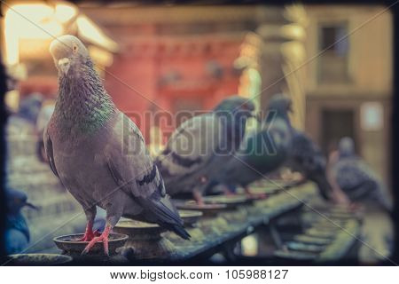 Pigeon in a temple