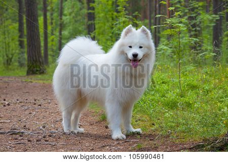 Samoyed Puppy In The Wood