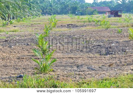 Replanting Palm Oil Tree