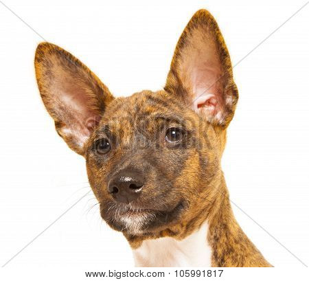 Basenji Puppy Isolated On White Background