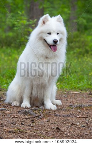Samoyed Dog In The Wood
