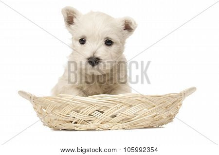 West Highland White Terrier Puppy