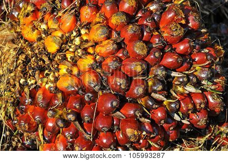 Close Up Of Palm Oil Fruit Bunch