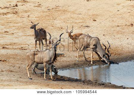 Kudu Antelope Drinking At A Muddy Waterhole