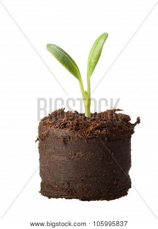 Sprout Ready For Plant