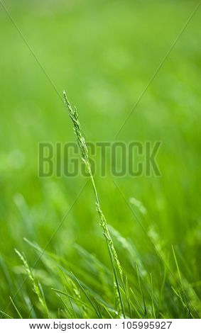 Wild Cereal Grass