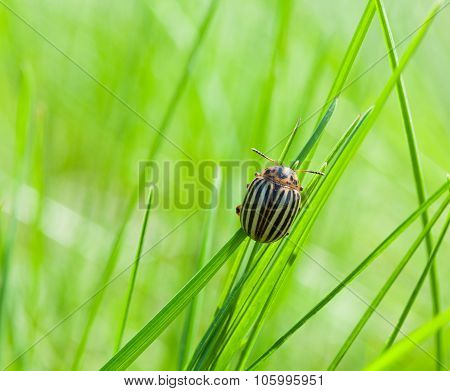 Colorado Potato Beetle Over Green Meadow Background