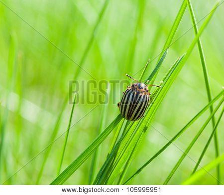 Colorado Potato Beetle Over Green Meadow Background