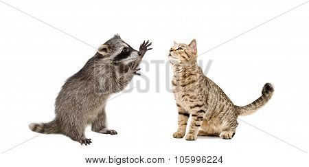 Playful raccoon and funny cat Scottish Straight