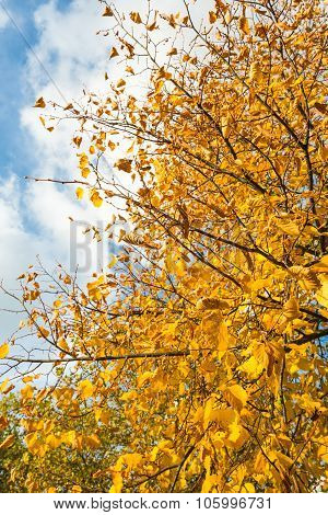 Closeup Of Yellowed Leaves Of A Tall Tree