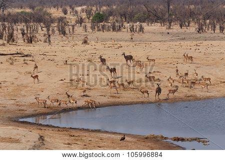 Herd Of Antelope Drinking At A Muddy Waterhole