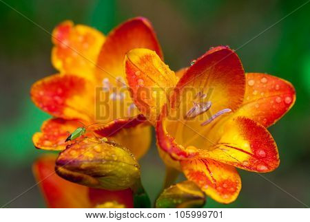 Beautiful freesia flowers with water drops and green insect on it close up