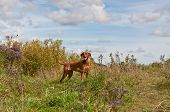 image of vizsla  - A Vizsla dog stands in a field in autumn - JPG