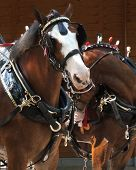 pic of clydesdale  - Pair of Clydesdale draft horses in tack - JPG