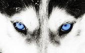 Close up on blue eyes of a husky dog poster