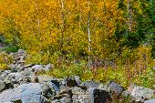 Постер, плакат: Wild Marmot Fall Foliage Colorado