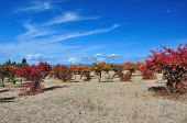 stock photo of swales  - Claret red apricot orchard on sandy lakeside - JPG