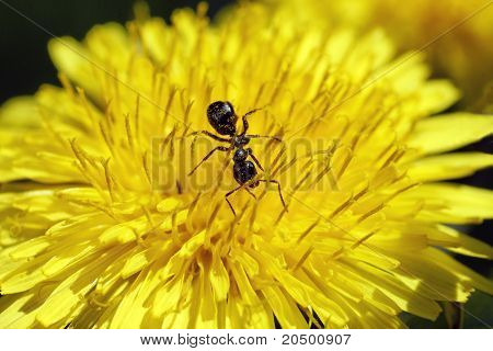 Ant Feeding In Dendelion Flower