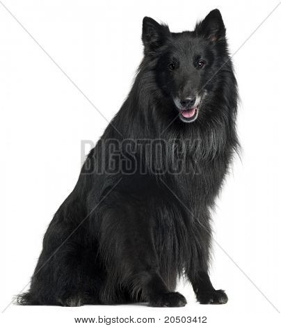 Belgian Shepherd Dog, Groenendael, 6 years old, sitting in front of white background