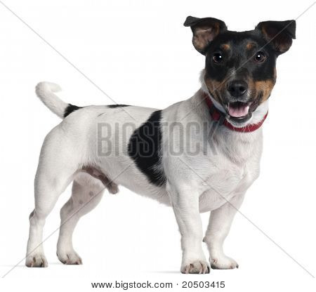 Jack Russell Terrier, 1 year old, standing in front of white background
