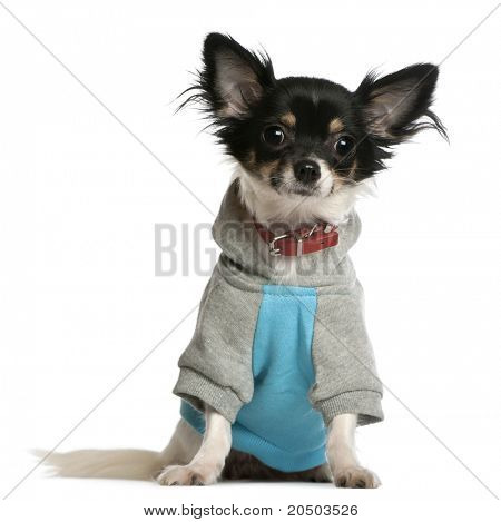 Chihuahua dressed in sweatshirt hoodie, 9 months old, sitting in front of white background