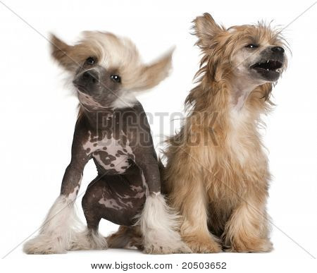 Chinese Crested Dog puppy, 4 months old, and Chinese Crested Dog, 7 years old, sitting in front of white background