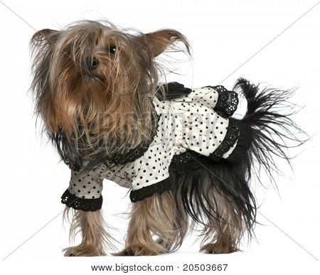 Yorkshire Terrier wearing black and white polka dot dress, 3 years old, standing in front of white background