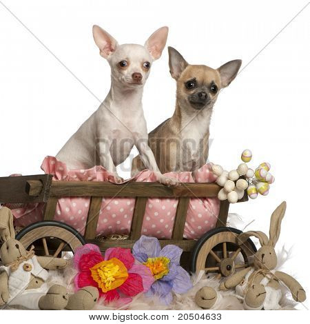 Chihuahuas, 13 months old and 7 months old, sitting in dog bed wagon with stuffed animals in front of white background
