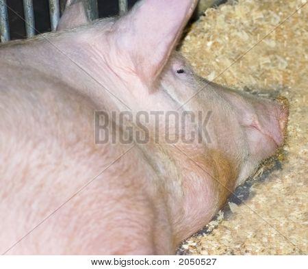 Ms Pig