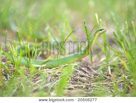 Smooth Green Snake Hunting in Grass