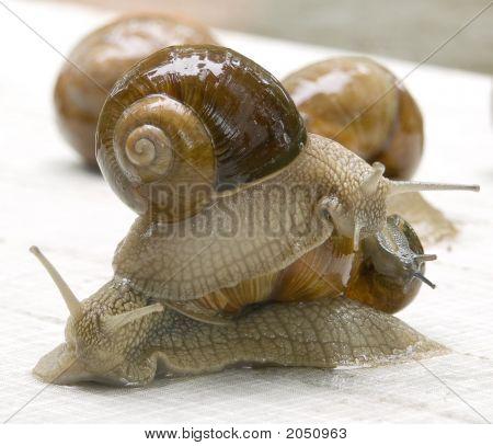 Grapevine Snail - Helix Pomatia