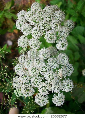 Close Up White Cow Parsley Flowers