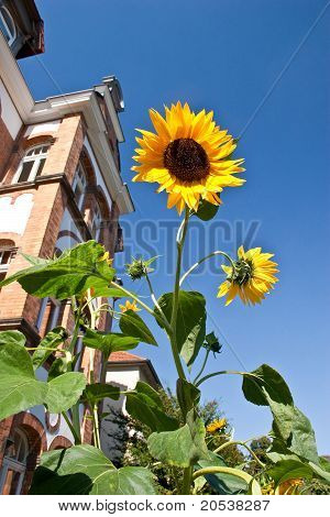 Brilliant sunflowers in summer