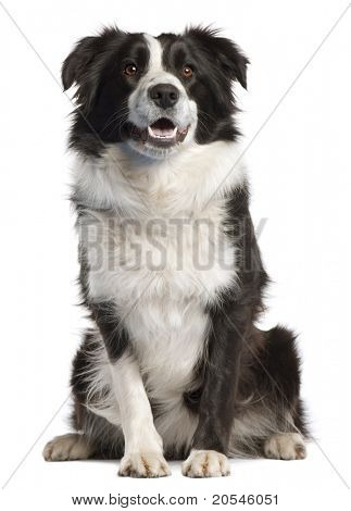 Border Collie, 14 months old, sitting in front of white background