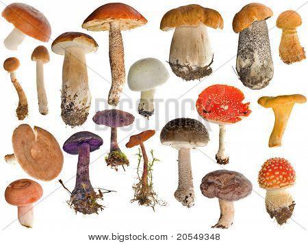 colección de diecinueve hongos aislado sobre fondo blanco