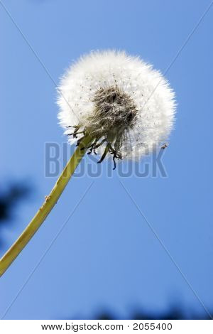 Dandelion Pod Against Blue Sky