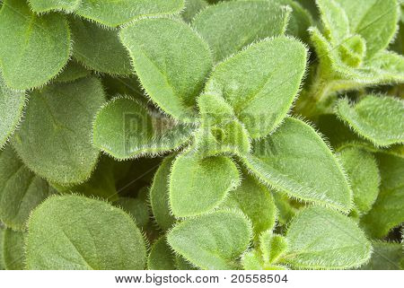 Fresh Oregano Herb