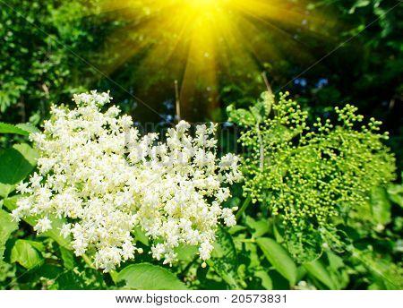 Elderflower And Nice Sunbeams In Summer.