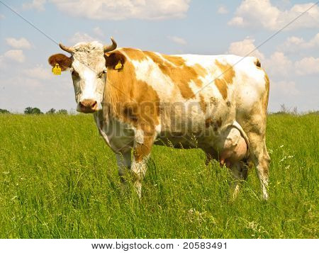 The Cow In Pasture