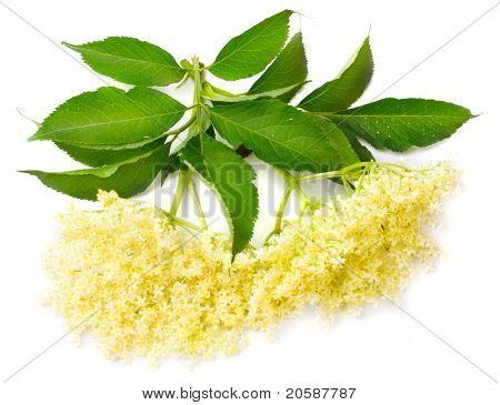 Sambucus nigra - Elder - The flowers and berries are used most often medicinally against flu and fever, angina, etc.