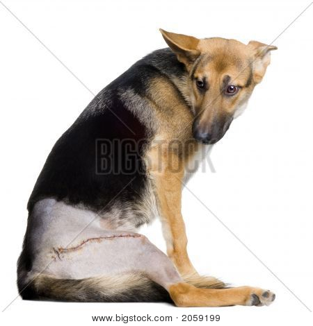 Young Wounded German Shepherd