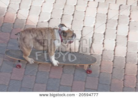 Floyd the dog on his skateboard