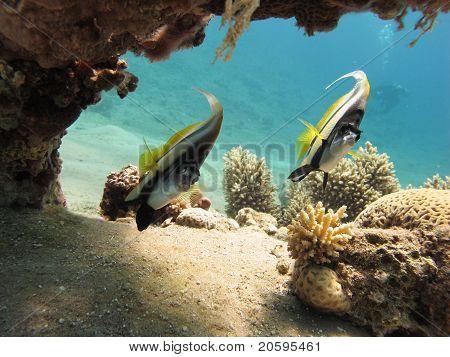 Bannerfish in a clear blue sea