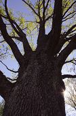 picture of centenarian  - Centenarian oak in early spring and beams penetrating through its branches - JPG